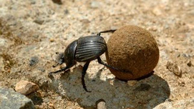 escarabajo-pelotero-coprofago-come-mierda