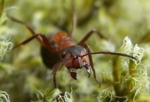 formica rufa - hormiga roja