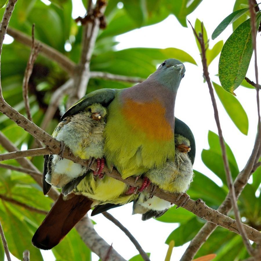 paloma con dos pichones