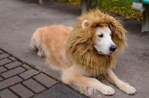 Como Hacer Un Disfraz De Leon Para Perro - Disfraz-casero-de-leon