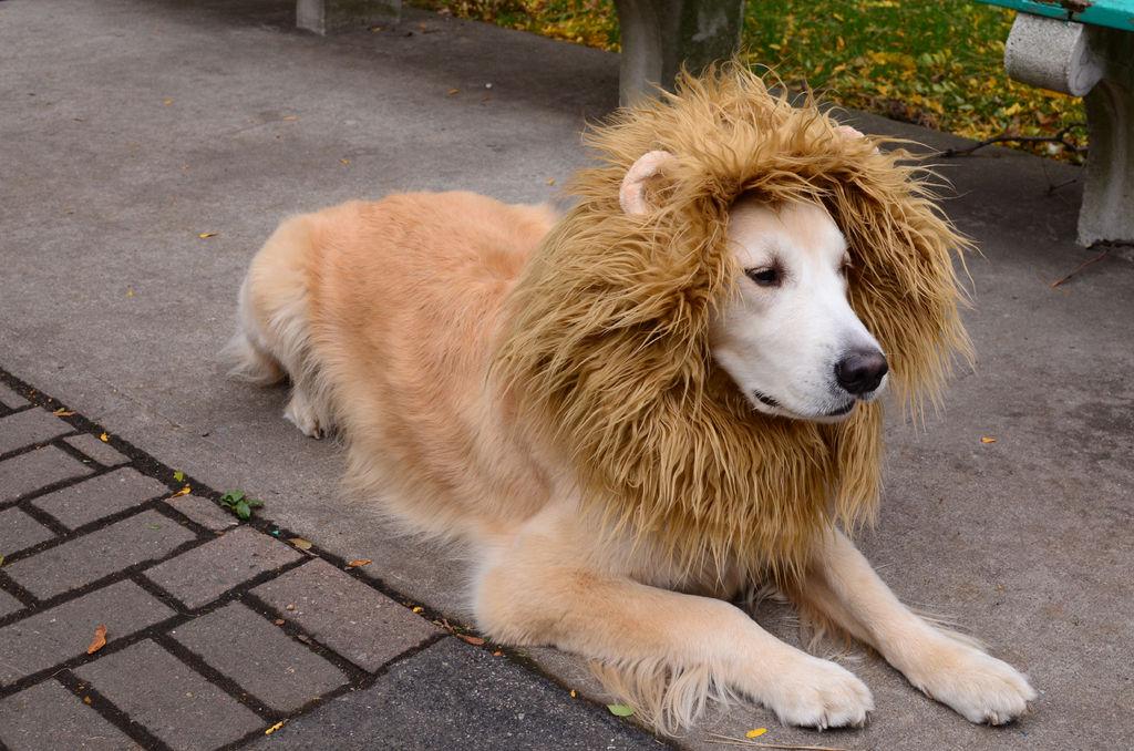 como hacer un disfraz de leon para tu perro
